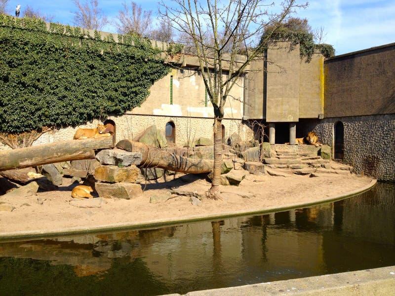 Lions au zoo d'Artis photo libre de droits