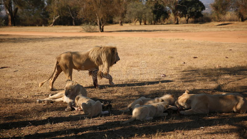 Lions blancs chez Lion Park en Afrique du Sud image stock