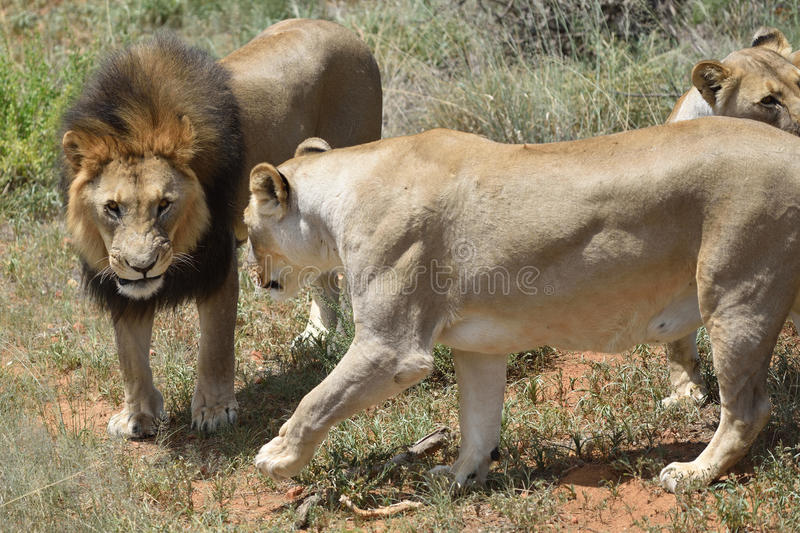 Lions in bushveld, Namibia stock images