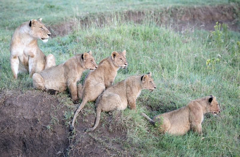 Lions with cubs. Africa, Tanzania Serengeti National Park, Ngorongoro crater area, lions with cubs stock images