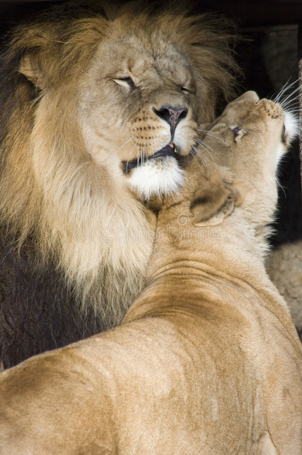 Lions cuddling. Two lions cuddling in the sun royalty free stock images