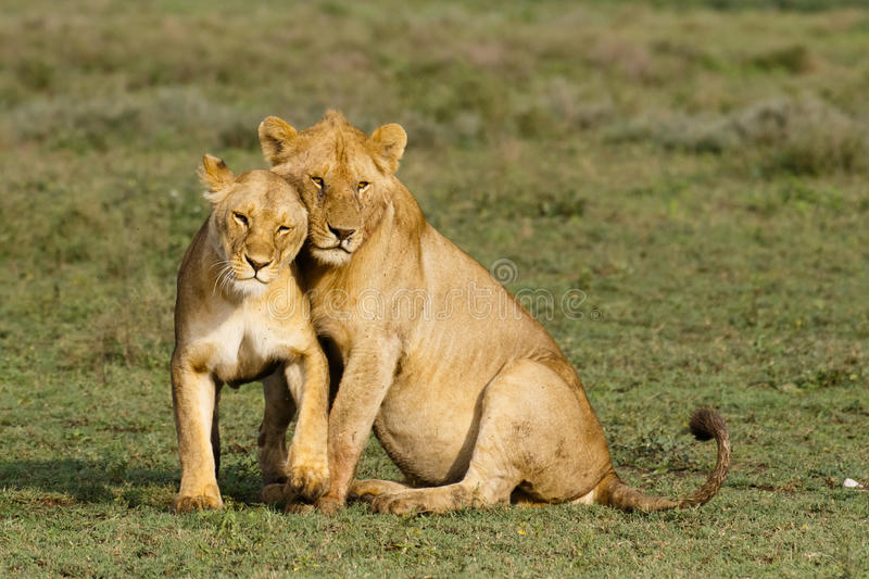Lions cuddling. Lioness and young lion cuddling stock image