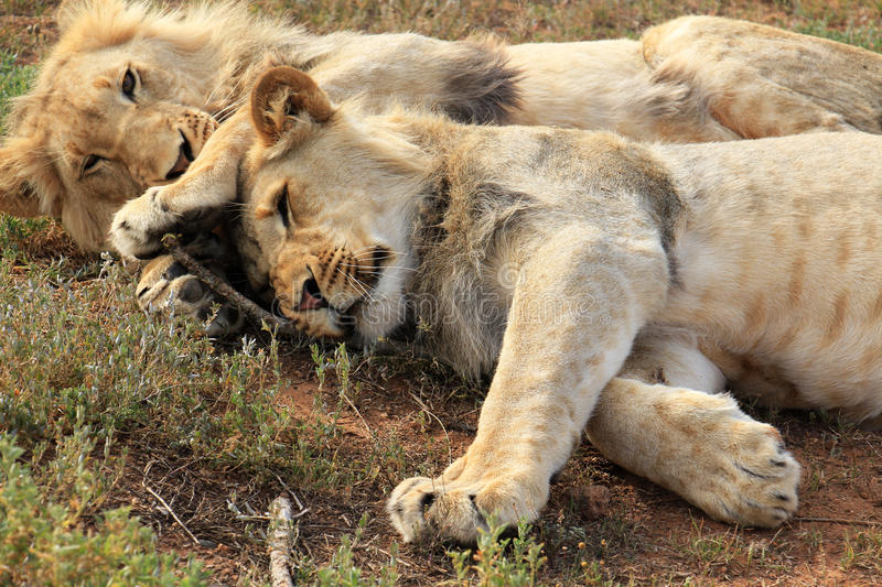 Lions cuddling. Two playful young lion brothers cuddling on the ground, in South Africa stock photos