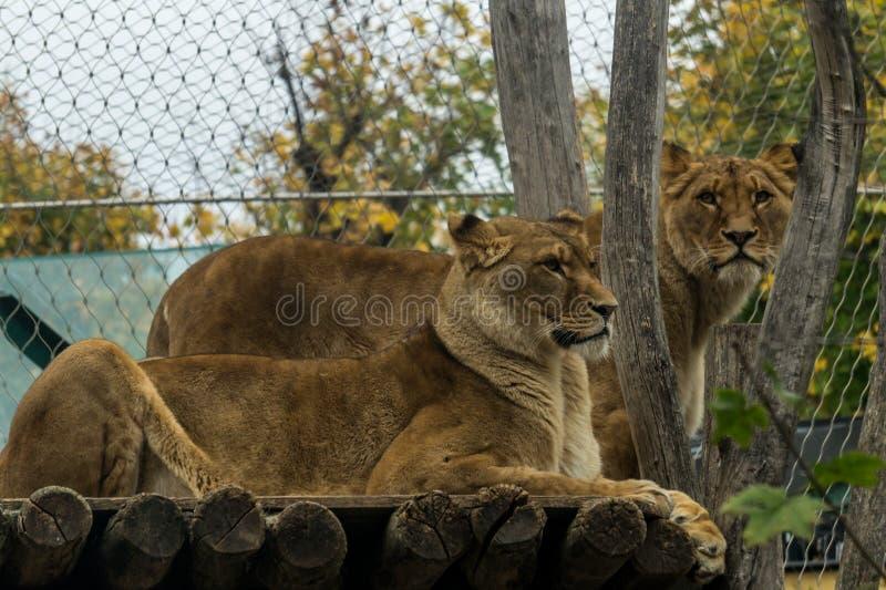 Lions dans le zoo de Vienne photos libres de droits