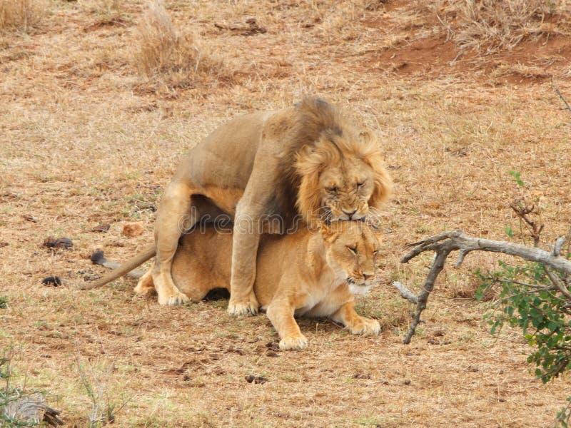 Lions de accouplement photographie stock