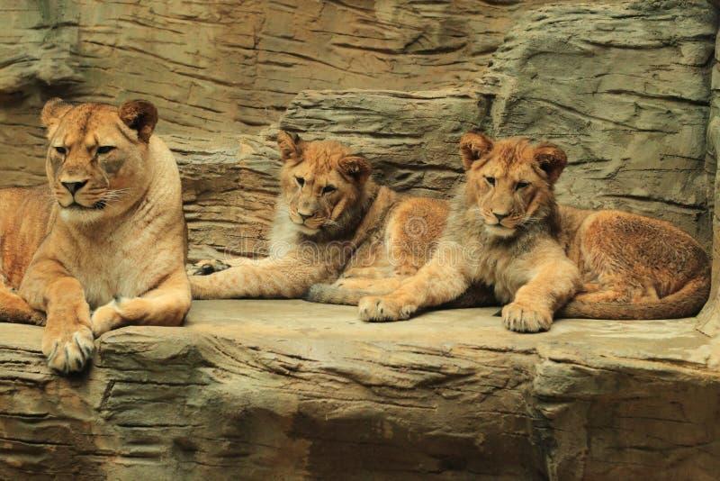 Lions de Barbarie photos libres de droits