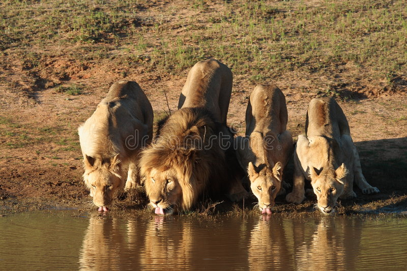 Lions Drinking Stock Photo