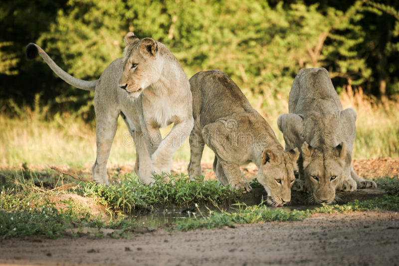 Lions drinking from pond royalty free stock image
