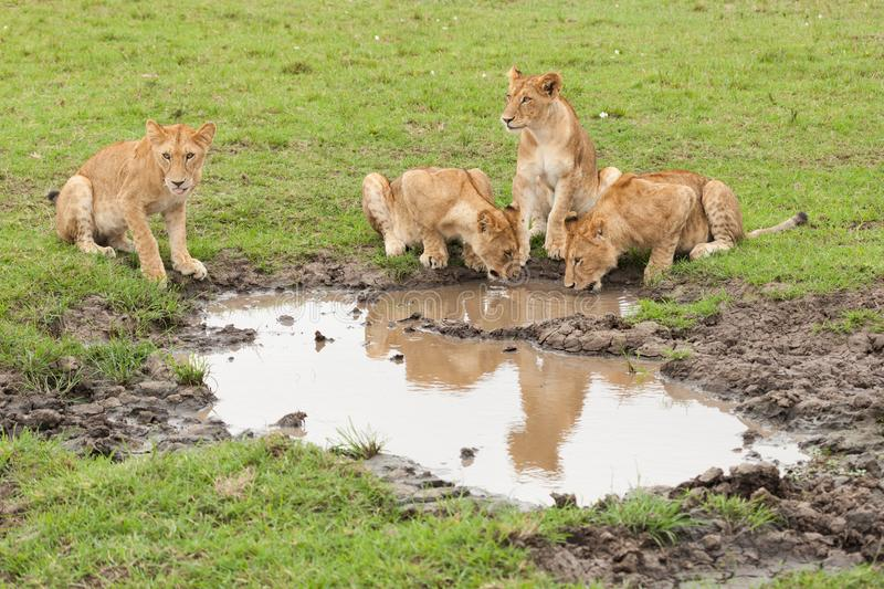 Lions drinking from a small water hole royalty free stock photography