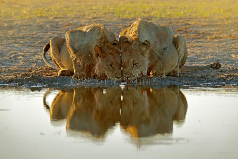 Lions drinking water. Portrait of pair of African lions, Panthera leo, detail of big animals, Kruger National Park South Africa. stock photography