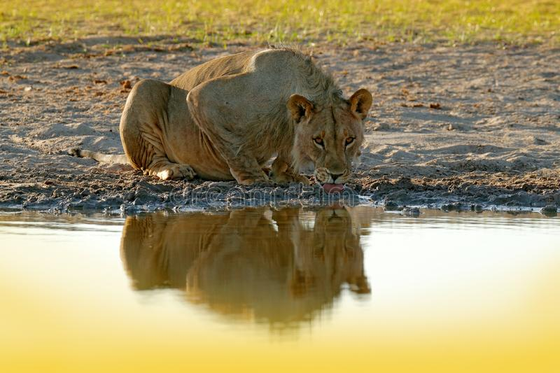 Lions drinking water. Portrait of pair of African lions, Panthera leo, detail of big animals, Kruger National Park South Africa. Cats in nature habitat royalty free stock image