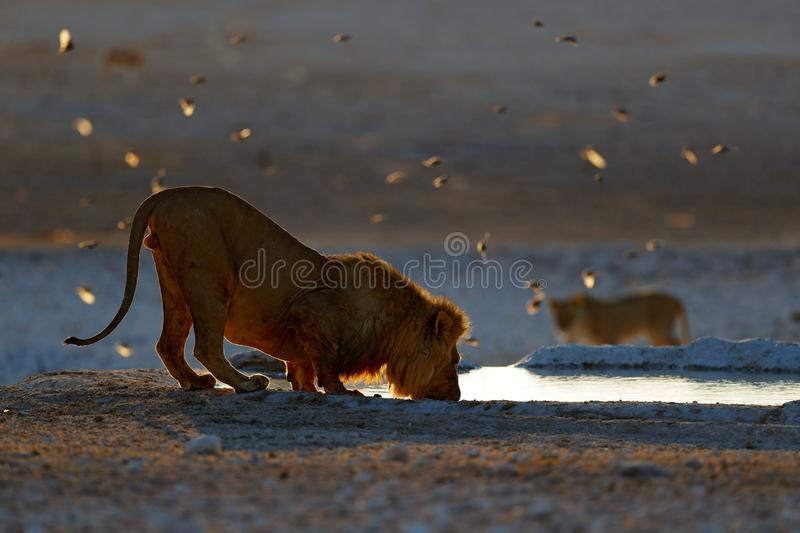 Lions drinking water. Portrait of pair of African lions, Panthera leo, detail of big animals, Kruger National Park South Africa. Cats in nature habitat royalty free stock photo