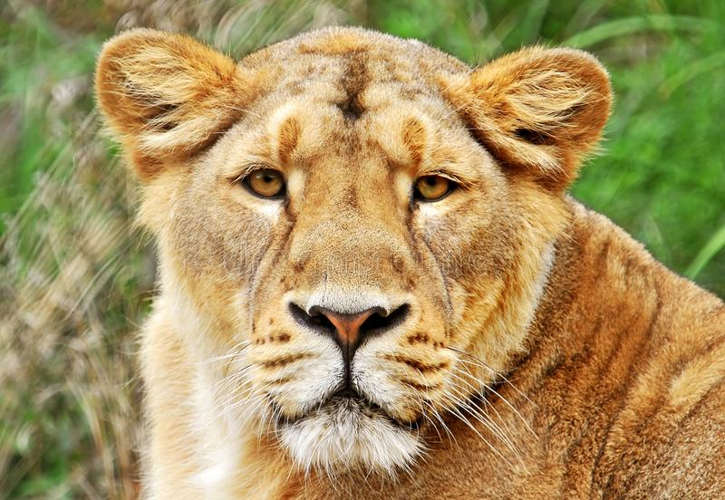 Download Lions Face Royalty Free Stock Image - Image: 26660526