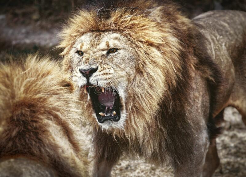 Lions fight for leadership. Wild animal stock photography