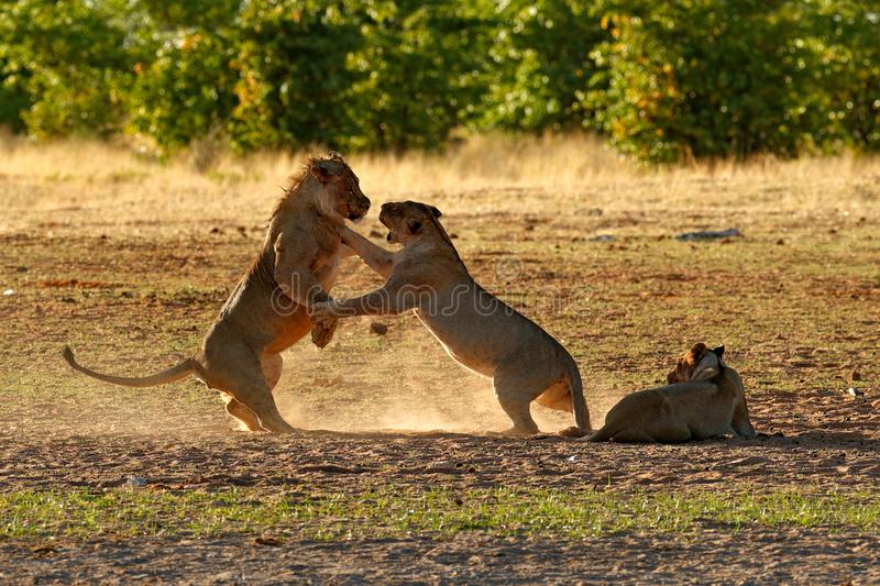 Lions fight in the sand. Lion with open muzzle. Pair of African lions, Panthera leo, detail of big animals, Etosha NP, Namibia in stock photo