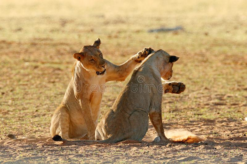 Lions fight in the sand. Lion with open muzzle. Pair of African lions, Panthera leo, detail of big animals, Etosha NP, Namibia in. Africa. Cats in nature stock images