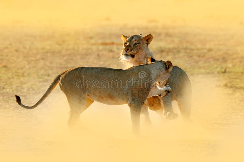 Lions fight in the sand. Lion with open muzzle. Pair of African lions, Panthera leo, detail of big animals, Etosha NP, Namibia in. Africa. Cats in nature stock photo