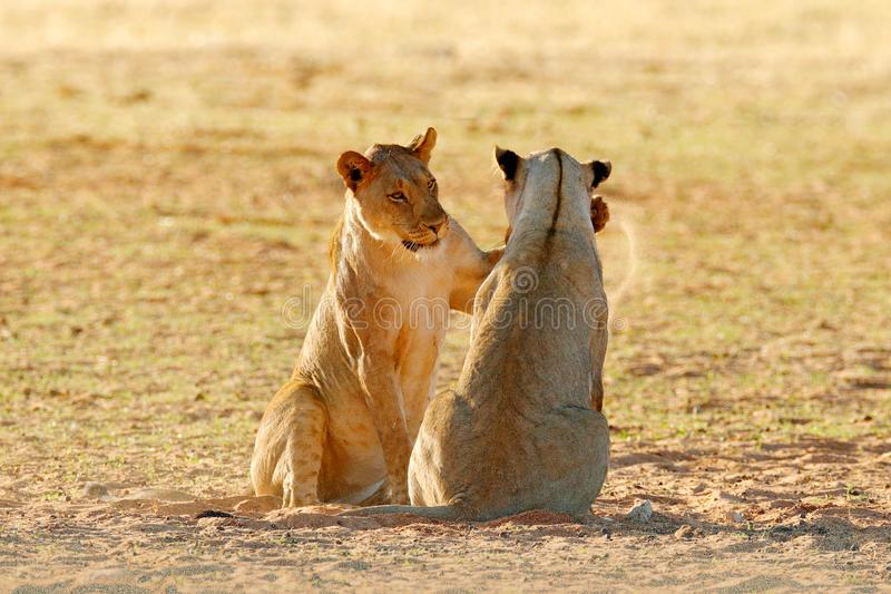 Lions fight in the sand. Lion with open muzzle. Pair of African lions, Panthera leo, detail of big animals, Etosha NP, Namibia in. Africa. Cats in nature stock photography