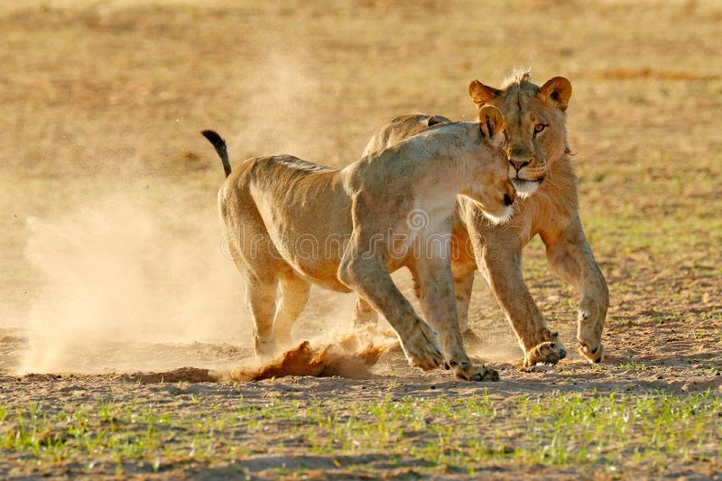 Lions fight in the sand. Lion with open muzzle. Pair of African lions, Panthera leo, detail of big animals, Etosha NP, Namibia in. Africa. Cats in nature royalty free stock photos