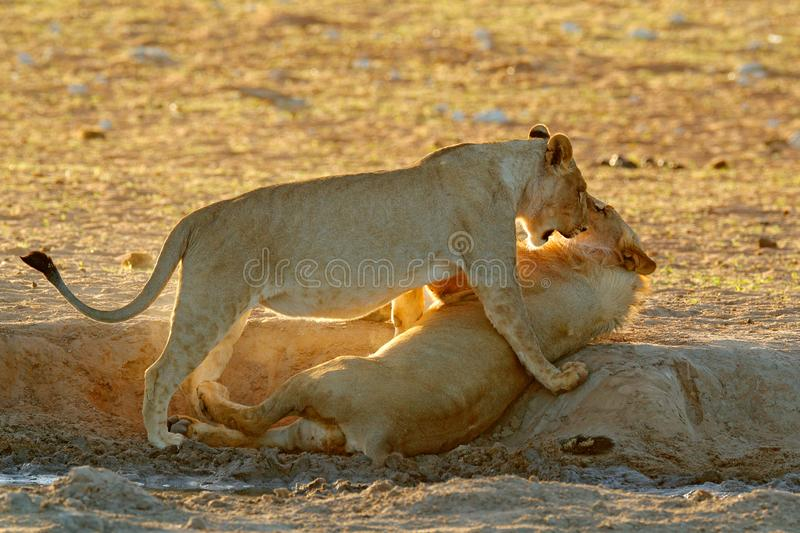 Lions fight in the sand. Lion with open muzzle. Pair of African lions, Panthera leo, detail of big animals, Etosha NP, Namibia in. Africa. Cats in nature stock image