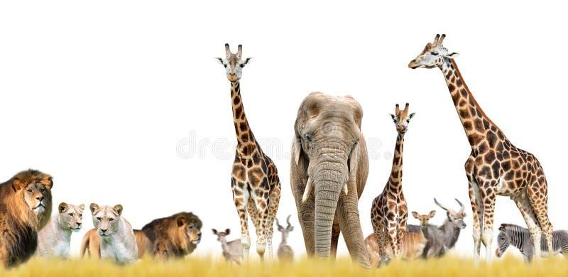 Lions, giraffes, elephant and antelopes. royalty free stock photos