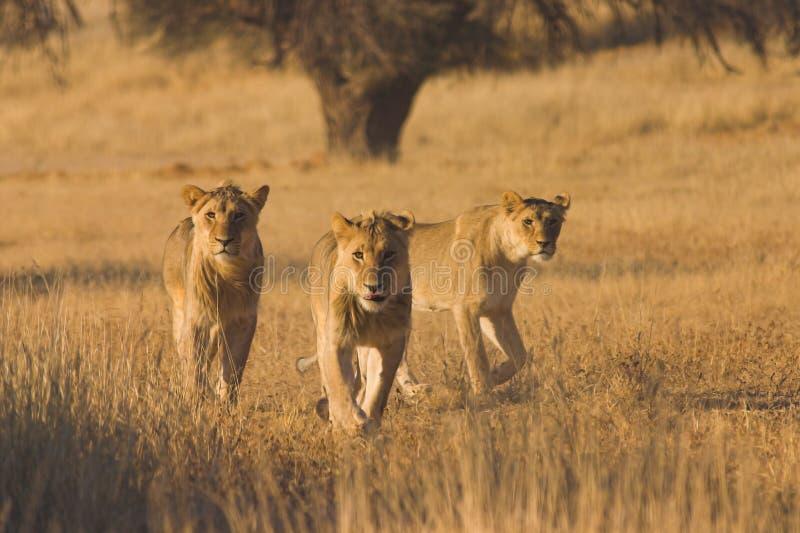 Lions hunting. In Kalahari Desert, Southern Africa
