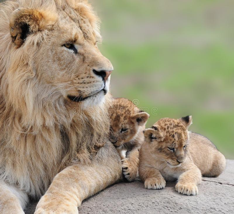 Download Lions Royalty Free Stock Images - Image: 31993449