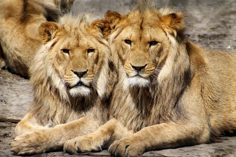 Lions. Image of savannah animals, lions, portrait royalty free stock images