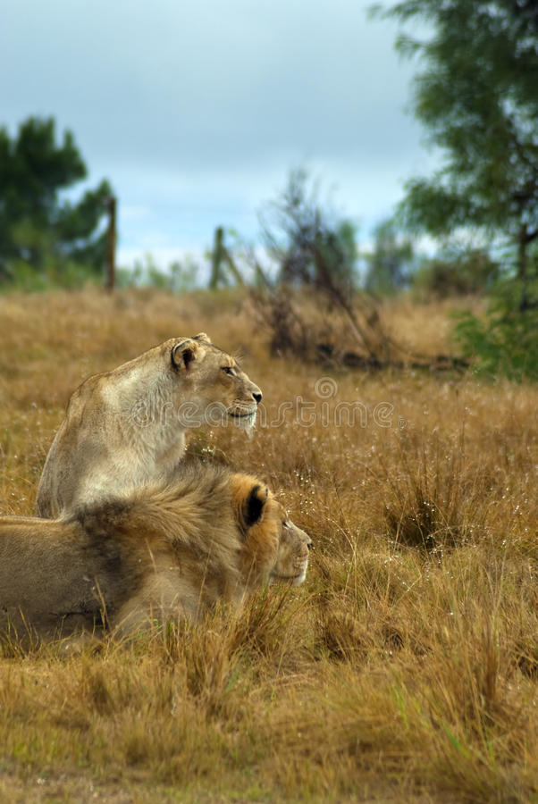 Lions looking intently royalty free stock photos