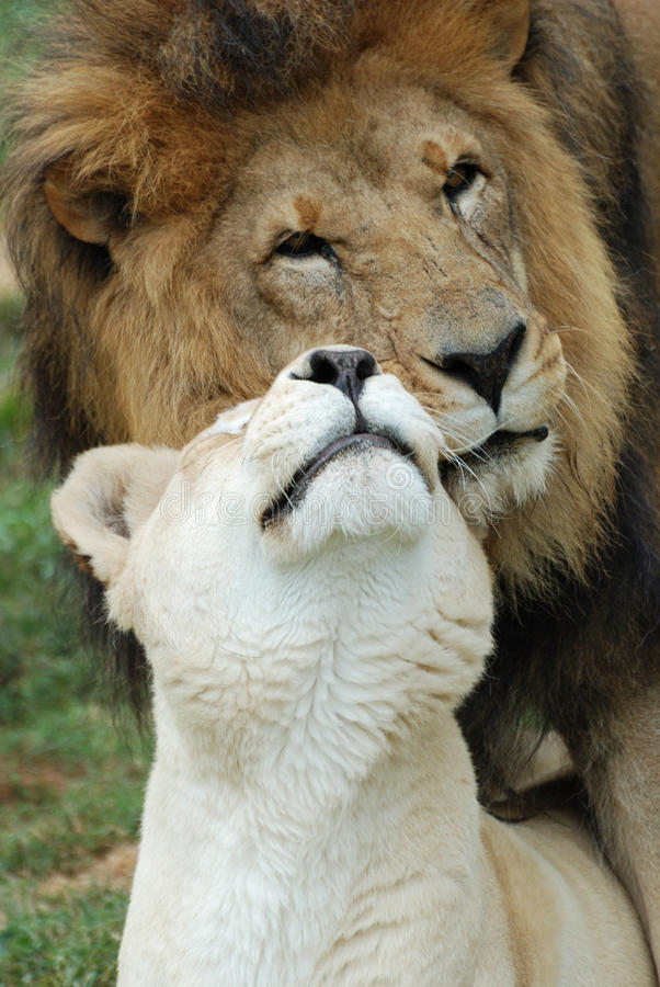 Lions in Love. A male and female lion showing affection royalty free stock image