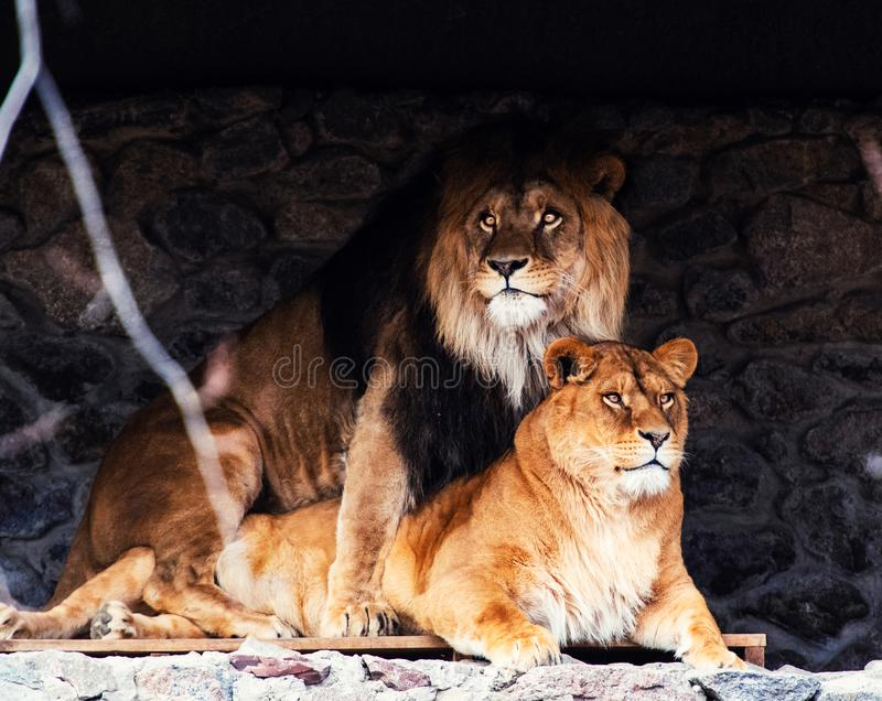 Lions, love couple stock images