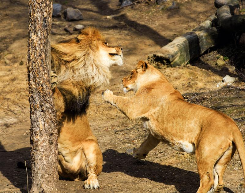 Lions, love couple royalty free stock image