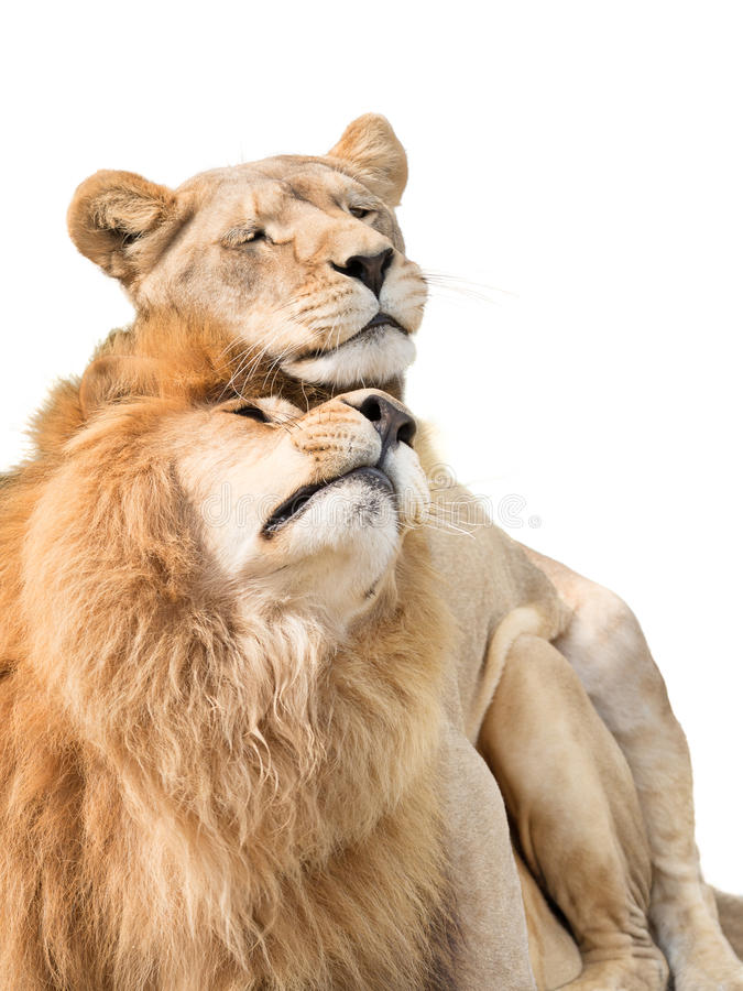 Lions in love. Two lovely lions isolated on white background stock photos