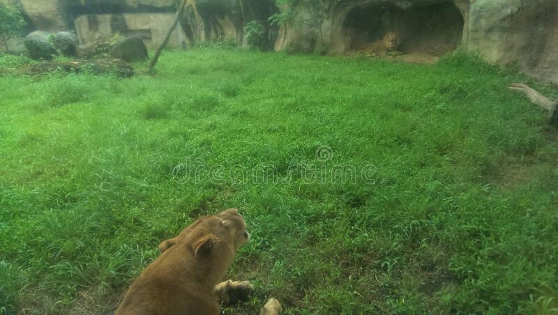 Lions lying in a park royalty free stock image