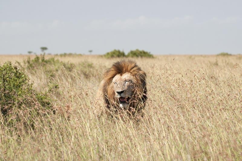 Lions in Masai Mara Savannah, Kenya royalty free stock photos