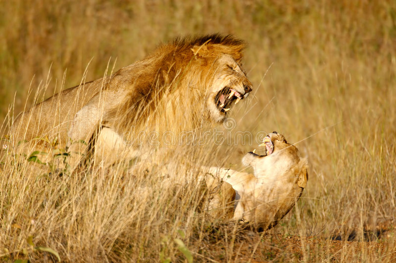Lions mating n.2. Lions mating in the high grass stock images