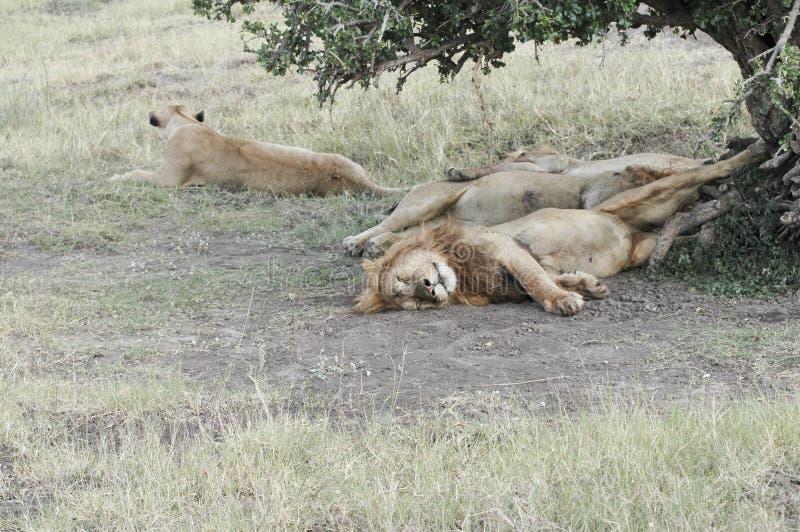 Lions pride resting. African lions pride (Panthera Leo) enjoying shadow under tree in Masaio Mara National Park, Kenya, East Africa stock image