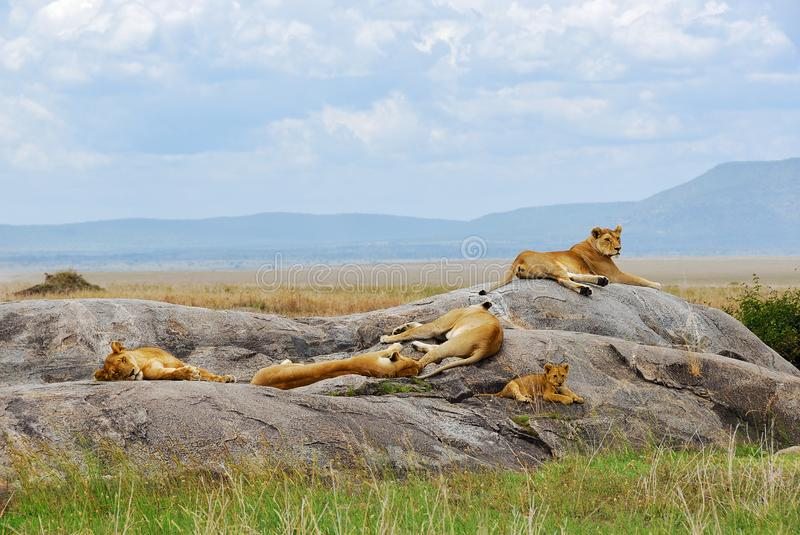 Lions pride in Serengeti, Tanzania, Africa stock photo