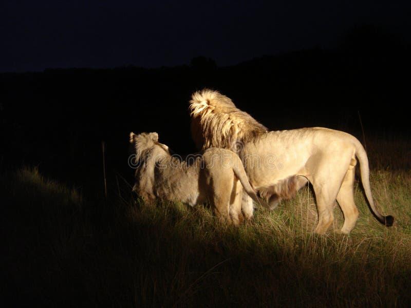 Lions regardant fixement dans la nuit images stock