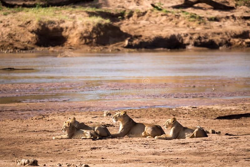 Lions rest on the bank of a river stock photography