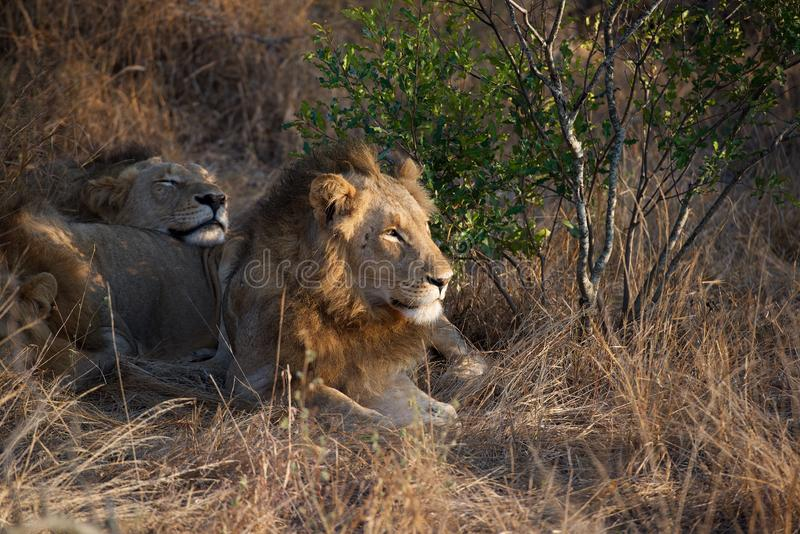Lazy Lion in Kruger National Park royalty free stock photos