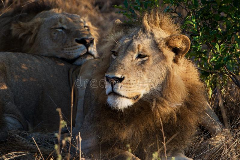 Lazy Lion in Kruger National Park. Lions rest on an early morning in Kruger National Park after hunting all night stock photo
