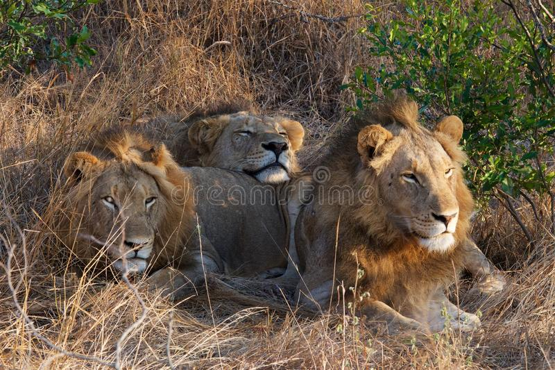 Lion Brothers in Kruger National Park royalty free stock photo