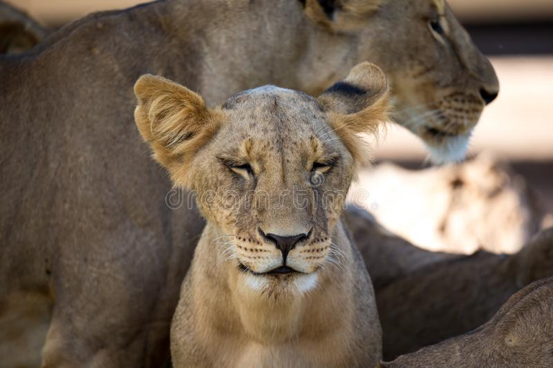 Lions rest in the grass of the savanna stock photos