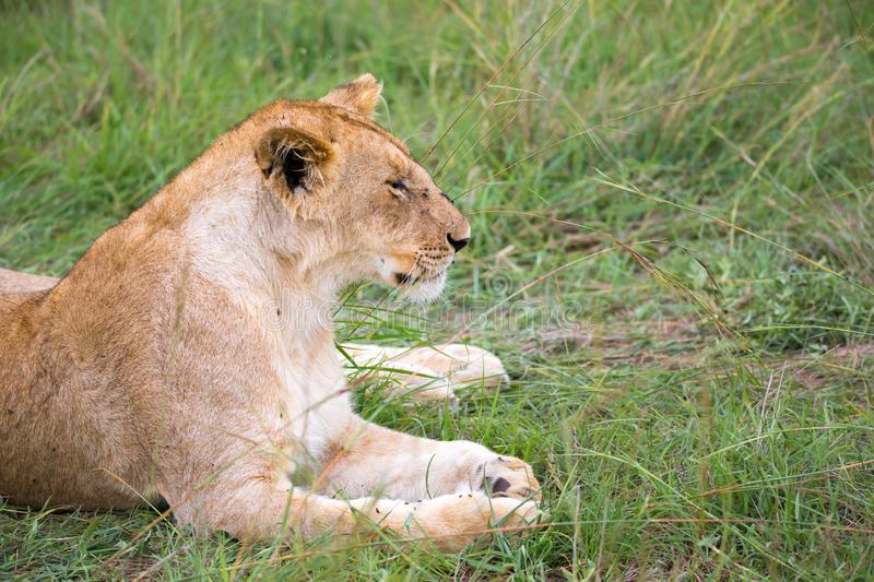 Lions rest in the grass of the savanna royalty free stock photos