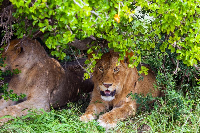 Lions rest after the hunt stock photography