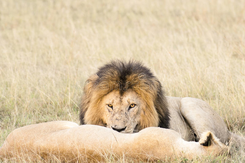 Download Lions Resting After Plentiful  Feeding Stock Photo - Image: 11406226