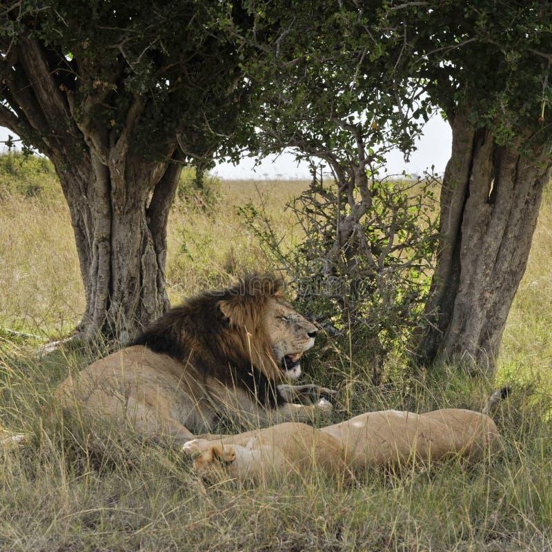Lions resting under tree. African lions pride (Panthera Leo) enjoying shadow under trees in Masaio Mara National Park, Kenya, East Africa stock photo