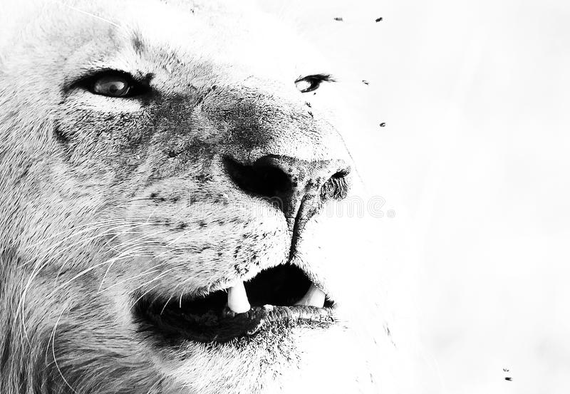 Lions Roar. Black and White Stunning Wildlife Art Photography of a Lion who roars over his African land stock photography