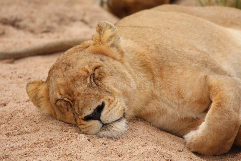 Download Lions In The Sabi Sand Game Reserve Stock Image - Image of kruger, five: 13574805